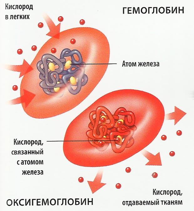 Схема строения эритроцитов