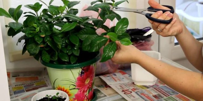 Как размножить комнатный жасмин в домашних условиях